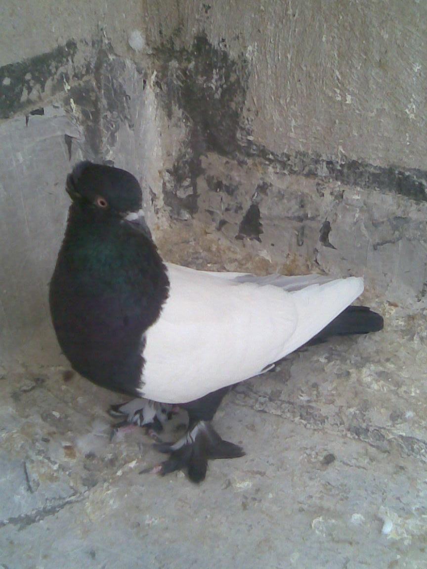 گروه تلگرامی کبوتر های مسافتی عکس چشم کبوتر | فتویاب