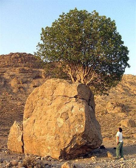 عجیب ترین درخت ایران