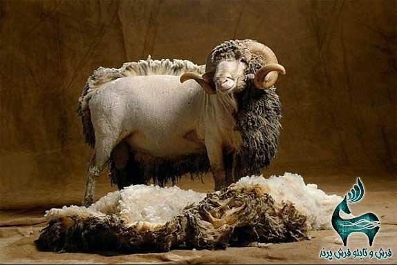 ',stkn lvdk,s گوسفند مرینوس پشم پینی