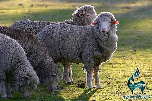 گله گوسفند مرینوس