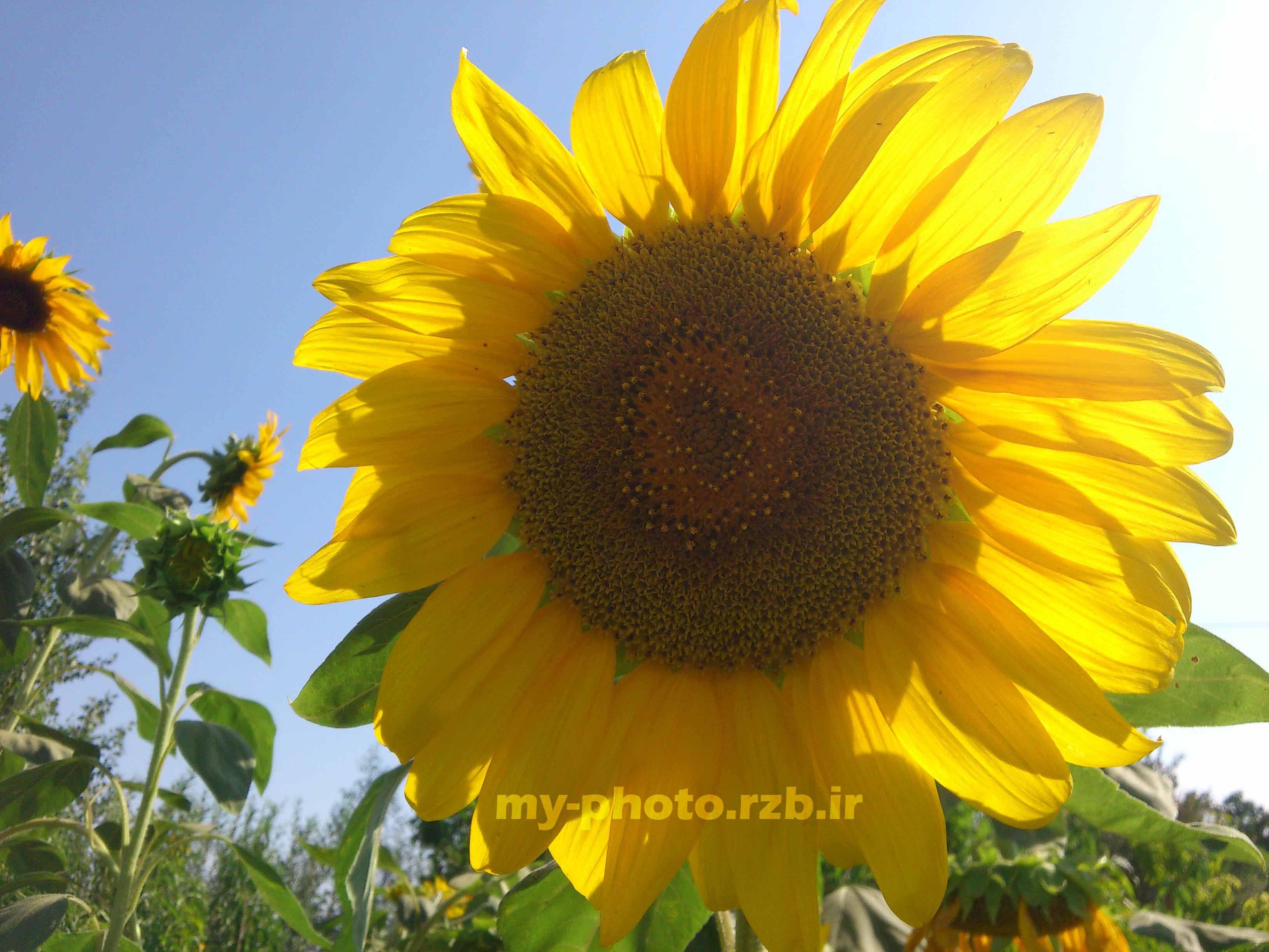 عکس4:«گل آفتابگردان»