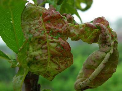 بیماری پیچش برگ باغات میوه گرمی مغان را تهدید می کند