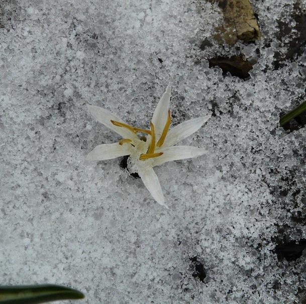 گل روییده میان برف و یخ