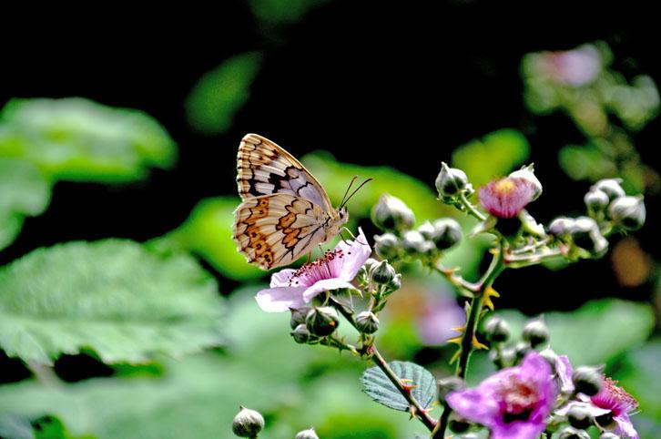 پروانه قاصدک