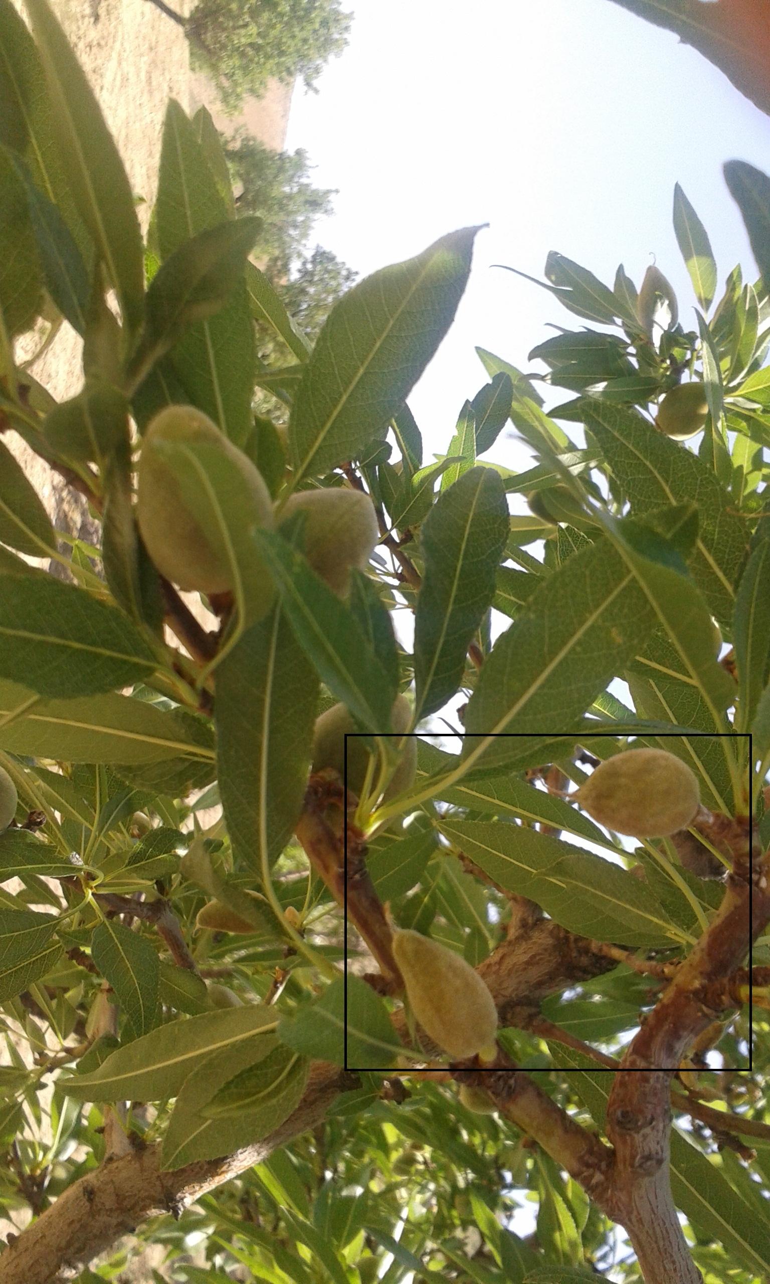 سرمازدگی درختان میوه