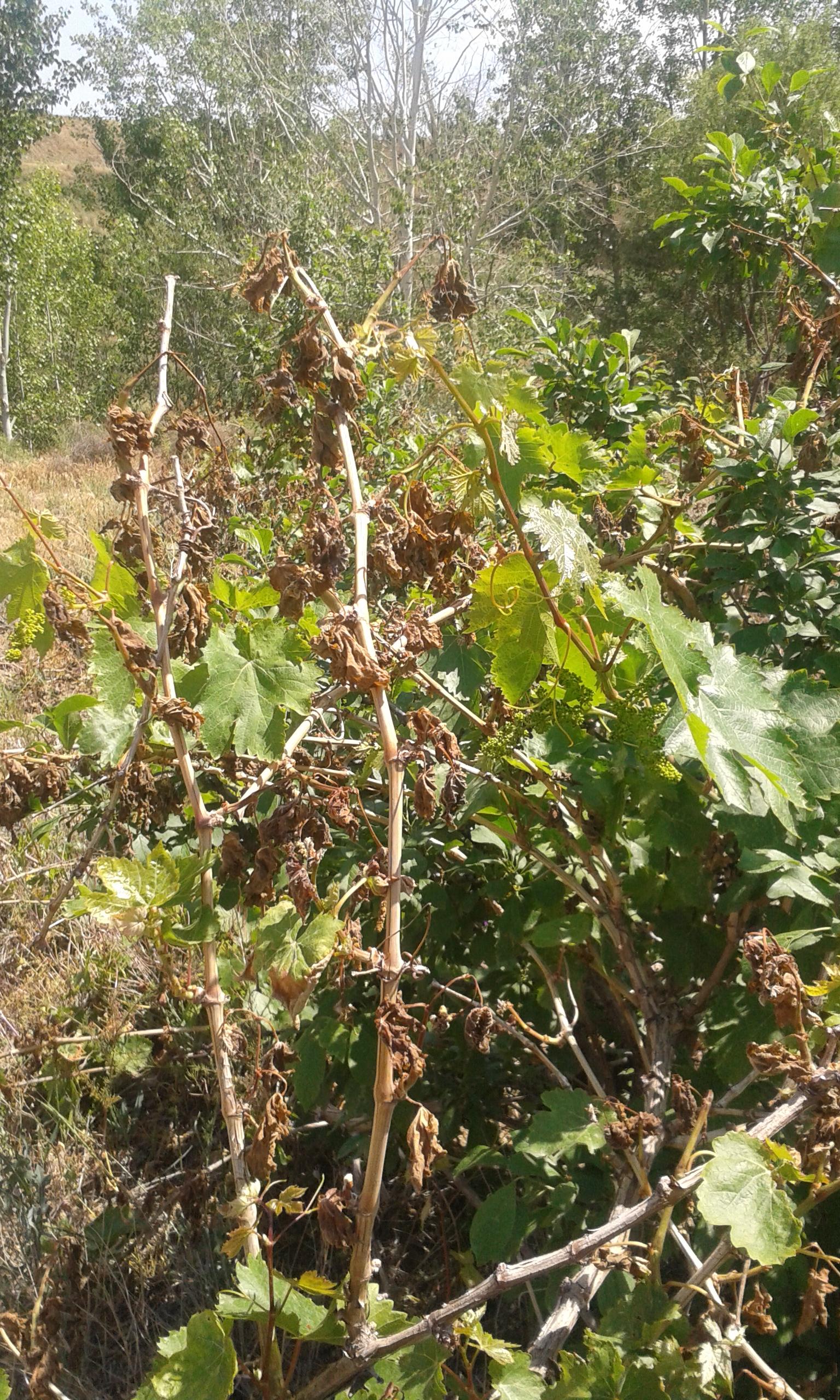 سرما زدگی درختان میوه