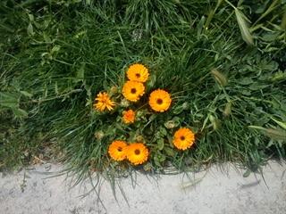 گل خیابانی