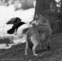 عکس کلاغ و گرگ