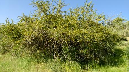 سرحد کوه بیل -درختان جنگلی