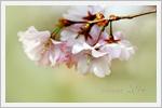 تصاویر زیبا و باکیفیت از شکوفه های بهاری