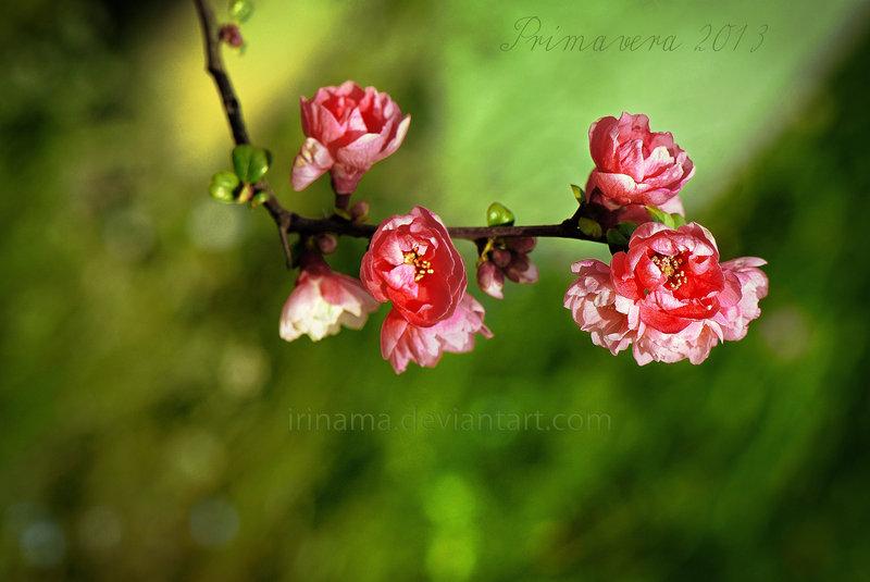 گل های بهاری صورتی