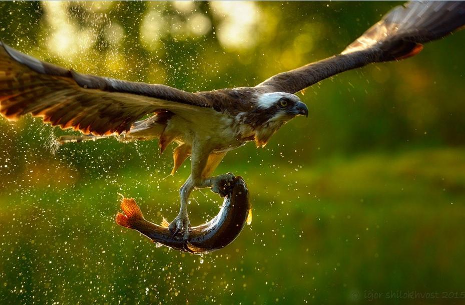 شکار عقاب