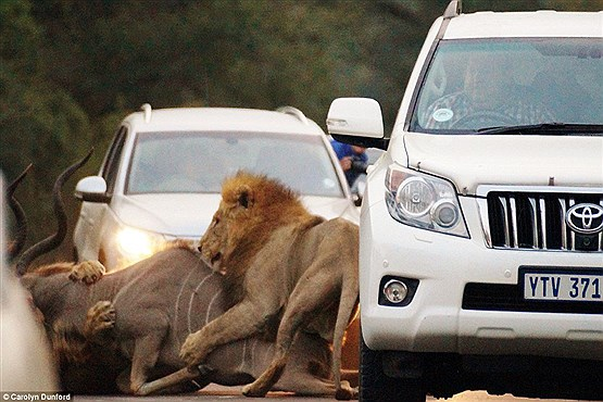صحنه نادر شکار شیرها در وسط جاده+ عکس , تصاویر دیدنی
