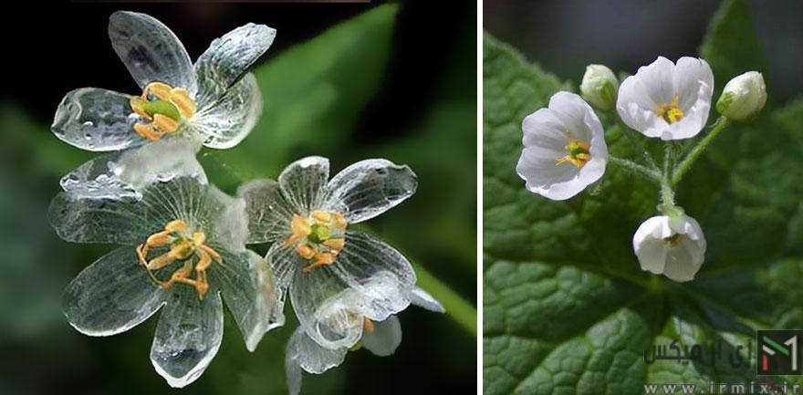 تصاویر خیره کننده از گل های نامرئی