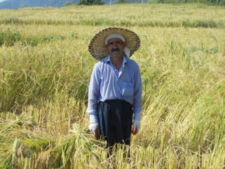 درو برنج در مزارع شهرستان تالش استان گیلان