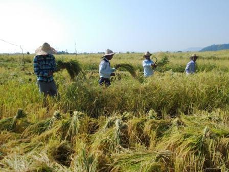 برداشت برنج در تالش