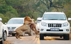 صحنه نادر شکار شیرها وسط جاده و درست در چند متری توریست ها!+ گزارش تصویری