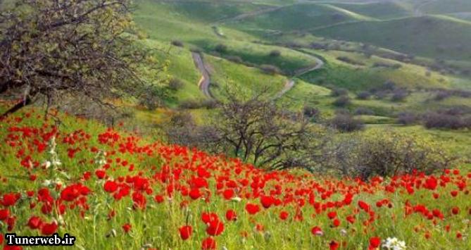 تصویری زیبا از جنگل پسته لاین شهرستان کلات نادر