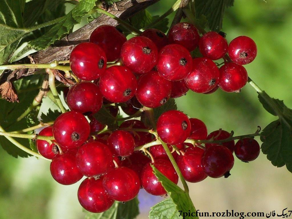 تصاویر میوه های خوردنی!!!!!!