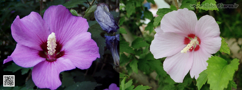 گل ختمی سوری یا رُز شارون: سمبل کره جنوبی