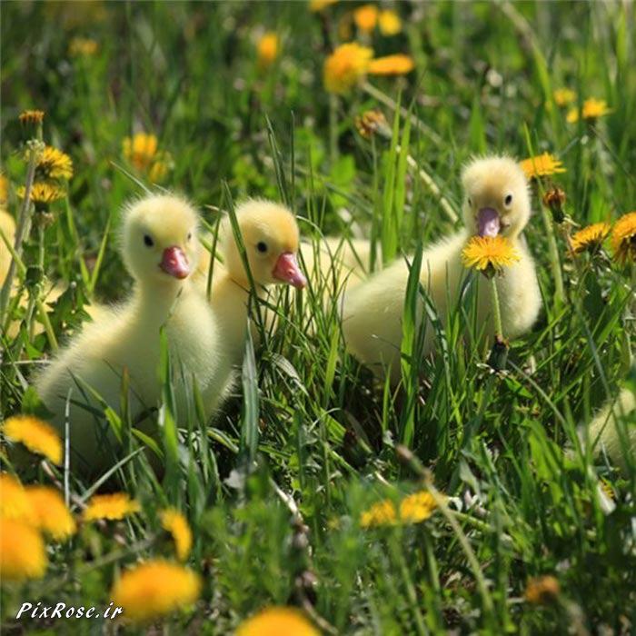 تصاویر زیبا از حیوانات سه تایی,حیوانات سه تایی,پرندگان زیبا,تصاویر زیبا از پرندگان,پرندگان,عکس پرنده,عکس جوجه اردک,تصاویر زیبا از پرندگان در حال شنا
