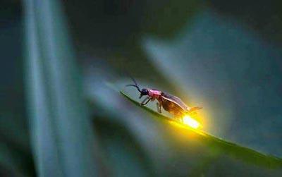 کرم شب تاب چگونه نور تولید می کند؟ , علمی ودانستنی ها