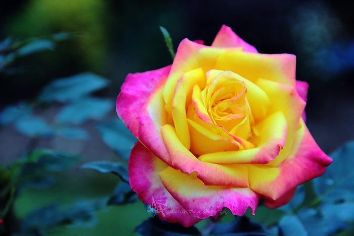 گل های زیبا برای بک گراند,گل رز,گل نرگس,رز کاغذی,رز صورتی,رز زرد,گل های زیبا,گل های رنگارنگ,بک گراندهای زیبا,عکس گل,عکس های زیبا,عکس زیبا