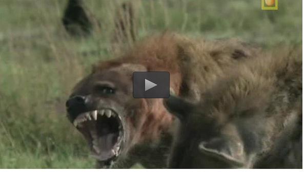 نبرد کفتارها + فیلم , ویدیو