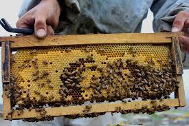 دانلود فایل کاراموزی زنبور عسل