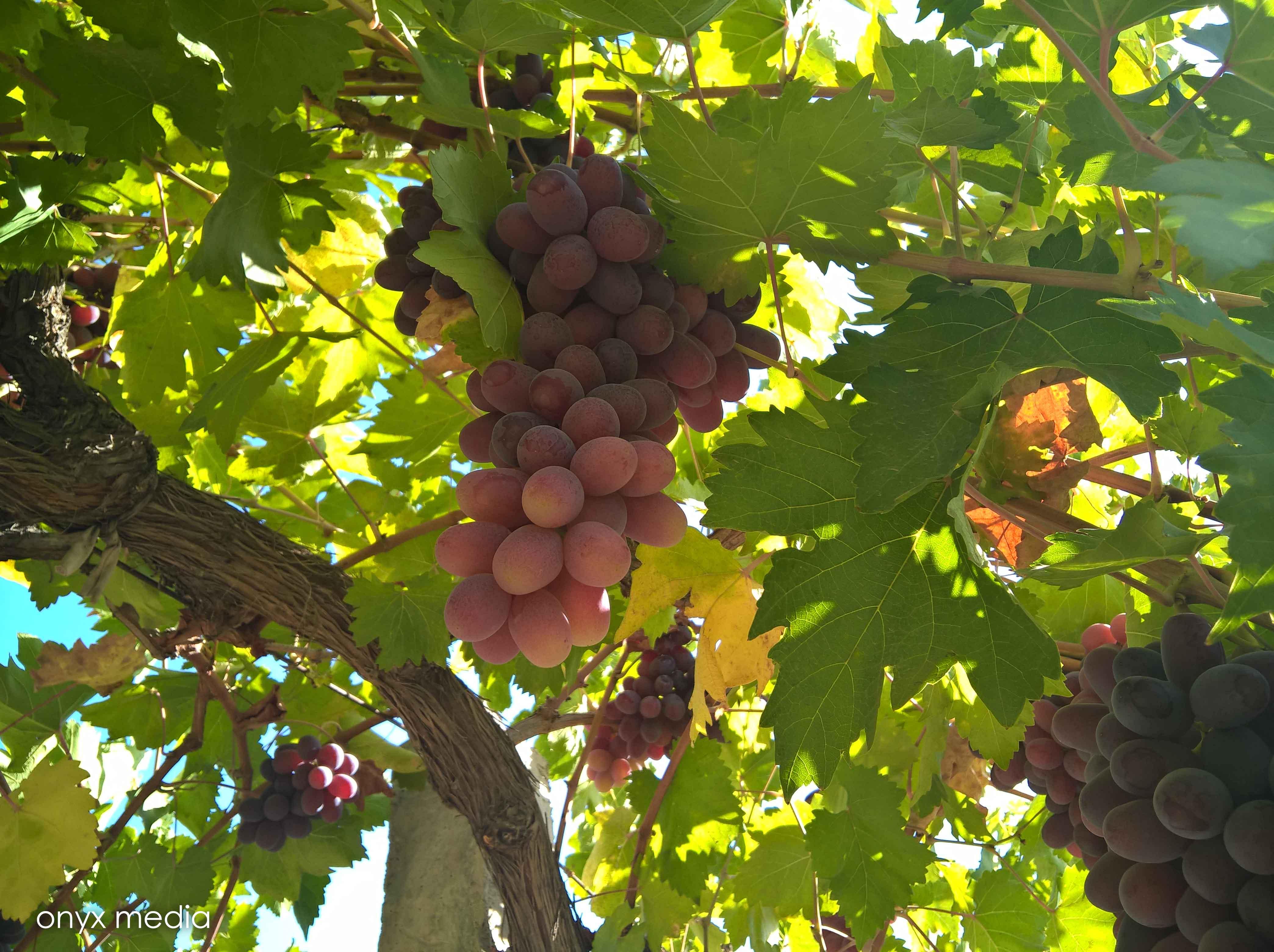 عکس زیبا و  با کیفیت از انگور قرمز