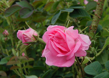چای گل سرخ، دمنوشی مفید برای پیشگیری از افسردگی