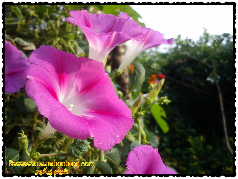 گل شیپوری روستای شولم