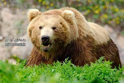 حمله وحشتناک خرس به کشاورز قزوینی , حوادث