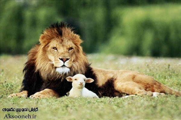 عکس های زیبا و دیدنی از سلطان جنگل، شیر
