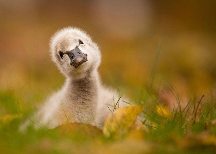 X عکس های بامزه از بچه حیوانات,بچه حیوانات,عکس های بامزه,عکس های جدید,جدیدترین عکس های روز,pixrose.ir,بچه پنگوئن,جوجه اردک,روبه کوچولو