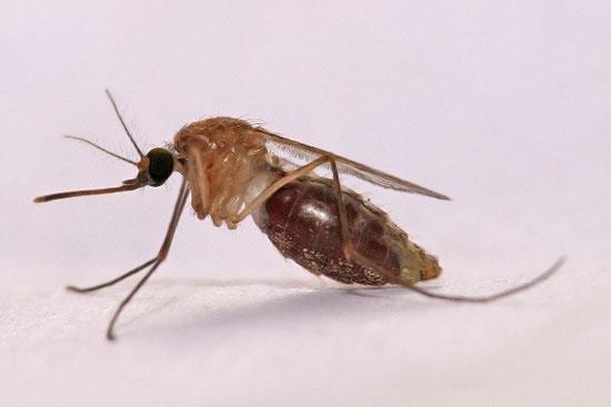 دانلود پاورپوینت پشه انوفل و کولکس و مالاریا