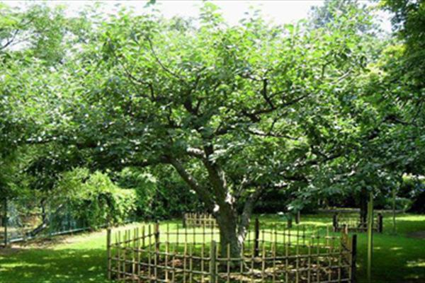 آیا تا به حال درخت سیب نیوتن را دیده اید؟ , جالب وخواندنی