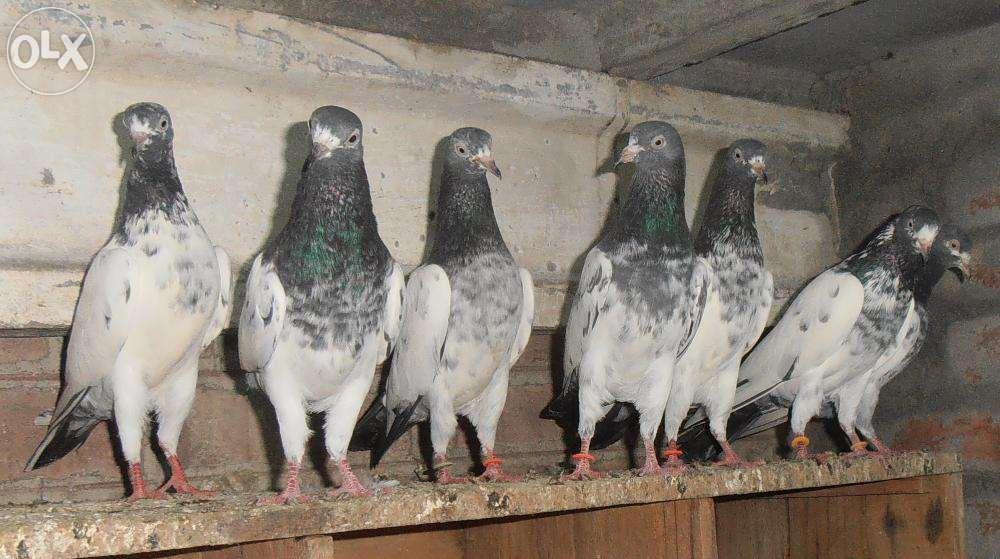 گروه تلگرامی کبوتر های مسافتی کبوتر . کبوتر پایتخت - تیپلر پاکستان