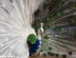دانلود پاورپوینت بررسی کامل پرنده طاووس