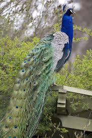 دانلود پاورپوینت مورفولوژی و بررسی پرنده طاووس