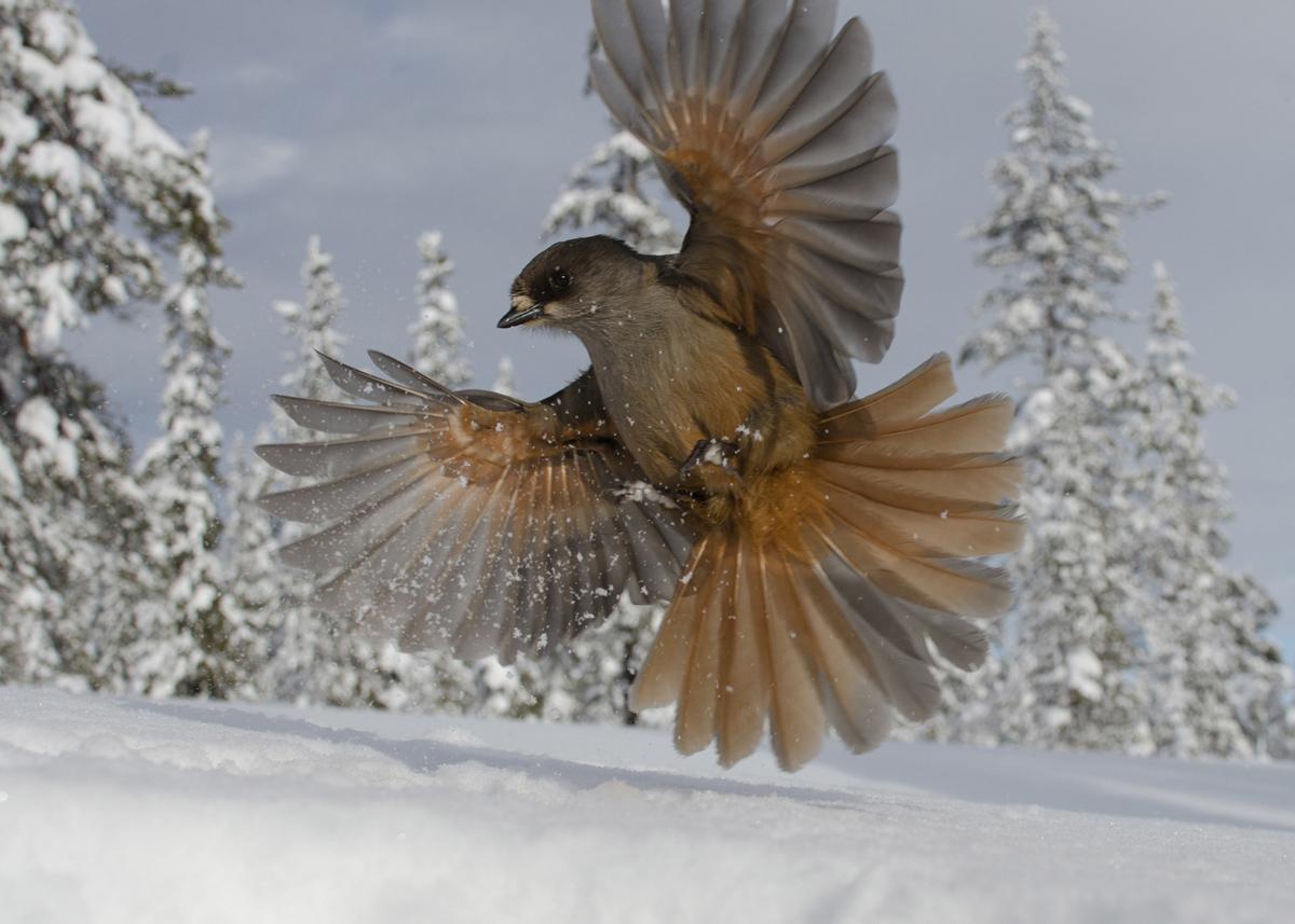 پرندهی برفی