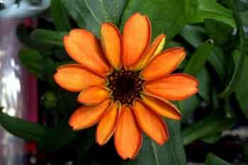 تصویر اولین گل پرورش داده شده در فضا , عمومی