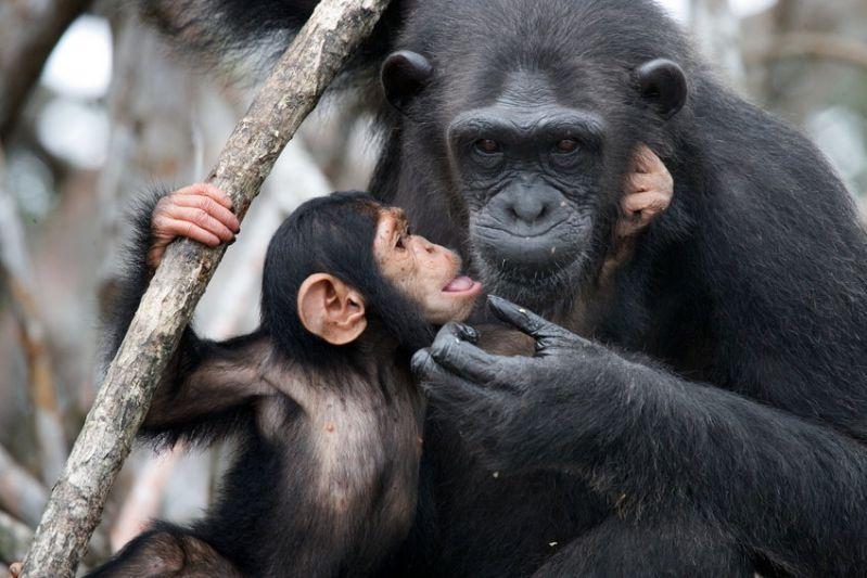 پاورپوینت اماده با موضوع میمون و شامپانزه -