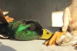 کشتار پرندگان مهاجر در فریدونکنار +عکس , اجتماعی