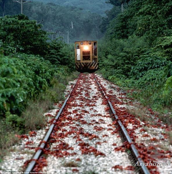 مهاجرت ترسناک میلیون ها خرچنگ +تصاویر , جالب و خواندنی