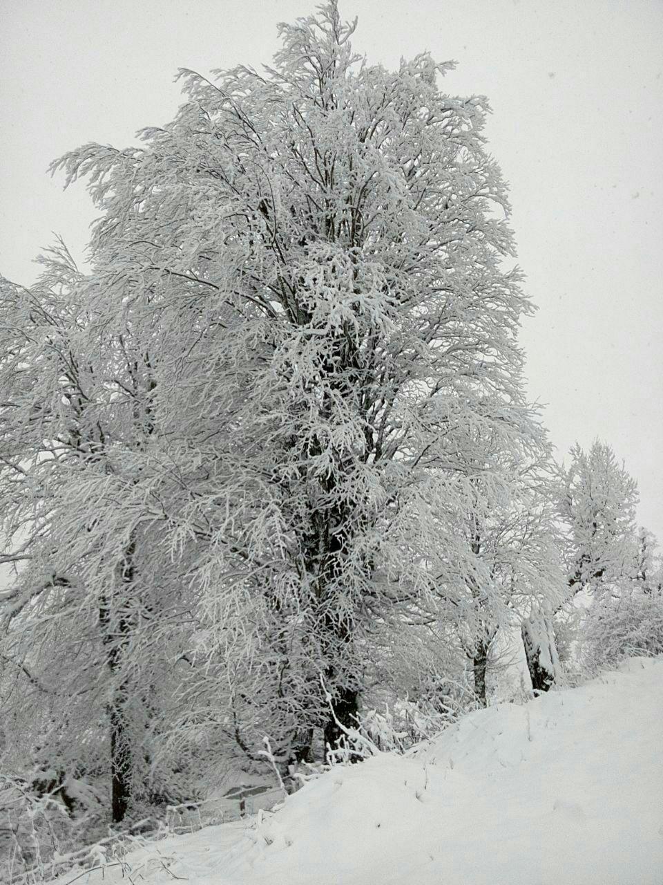 درخت پوشیده از برف ماسوله