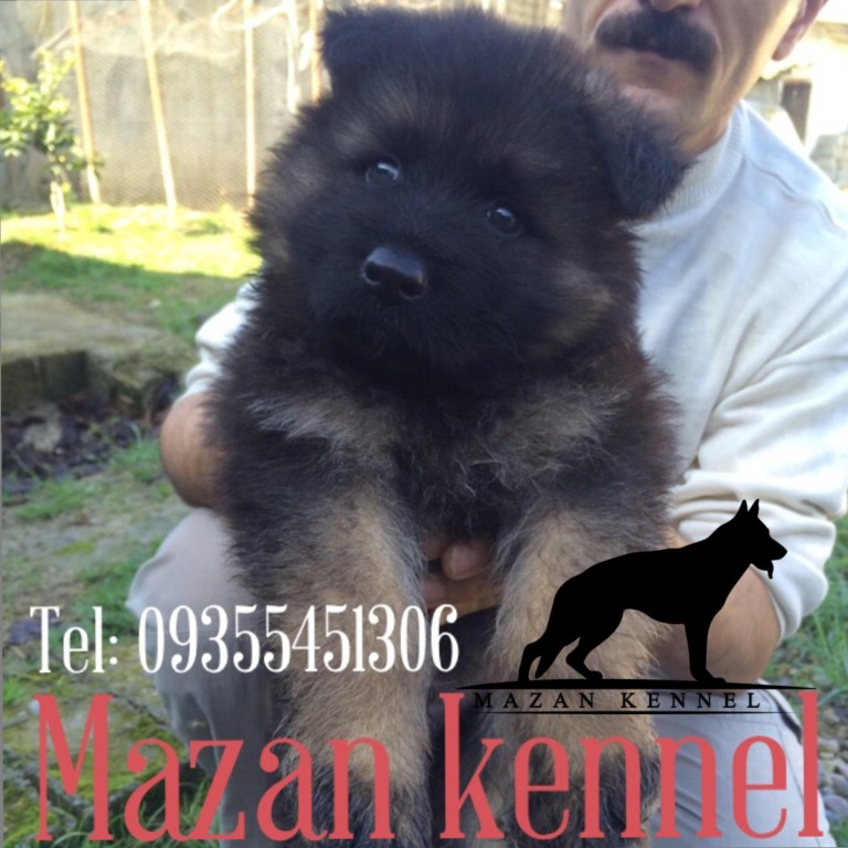 نمونه سگ های ژرمن فروخته شده