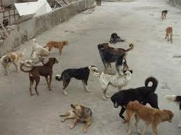 جمع آوری سگهای ولگرد