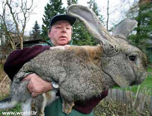 خرگوش بزرگ