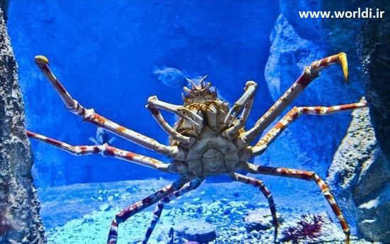 خرچنگ ژاپنی بزرگ